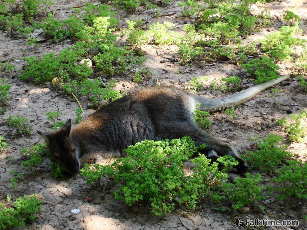 Little kangaroo
