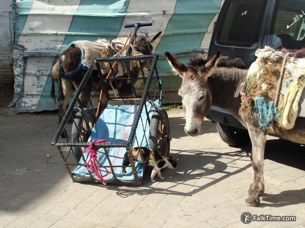 Donkeys and a cat