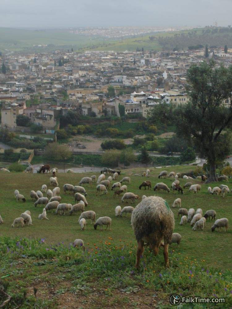 Sheeps and a view to the old medina