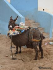 A donkey eating garbage