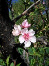 Flowers of almond